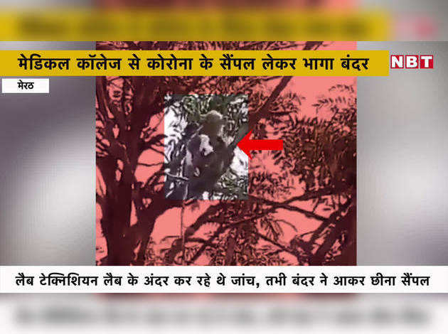 मेरठः मेडिकल कॉलेज से कोरोना के सैंपल लेकर भागा बंदर