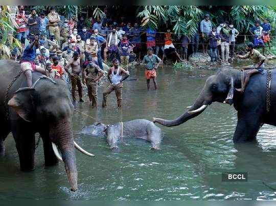Kerala Elephant May Have Eaten Jaggery-Coated Cracker Meant for Wild Boars, One Farm Worker in Custody, says Forest Official