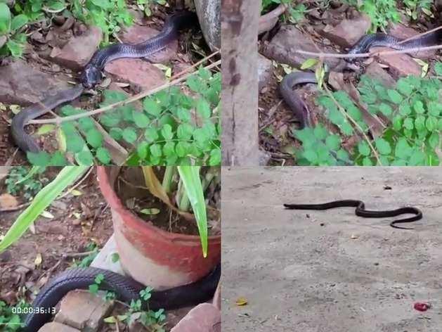 काले नाग का 'बाहुबली' अवतार, देखें 5 फीट लंबे सांप को निगलते हुए Live