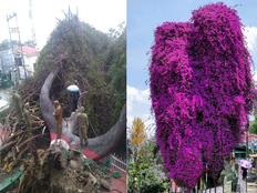 उत्तराखंड: एक सदी तक साथी रहे देवदार और बोगनवेलिया के पेड़ हुए धराशायी