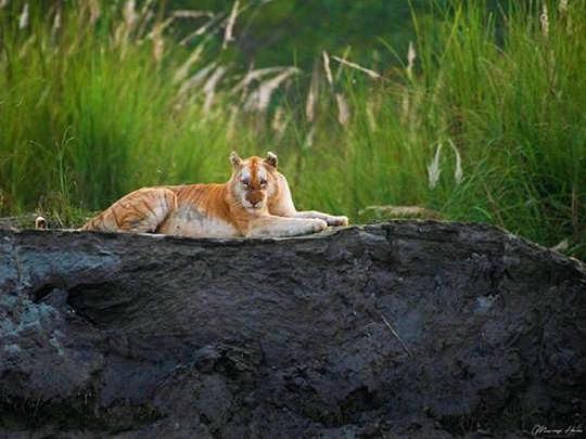Golden Tiger. PC: Mayuresh Hendre