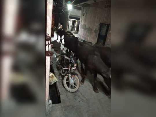 बादली गांव में अवैध डेयरियों से लोग परेशान