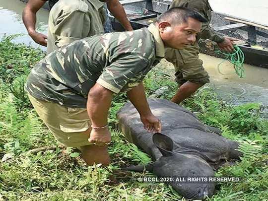 rhino assam