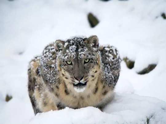 snow leopard conservation