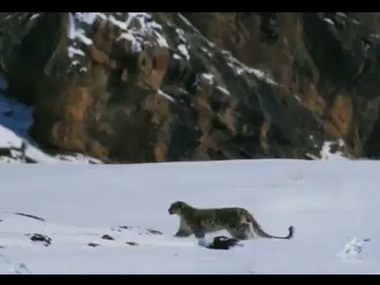 Snow leapord hunting thar. PC: Martin Dohrn
