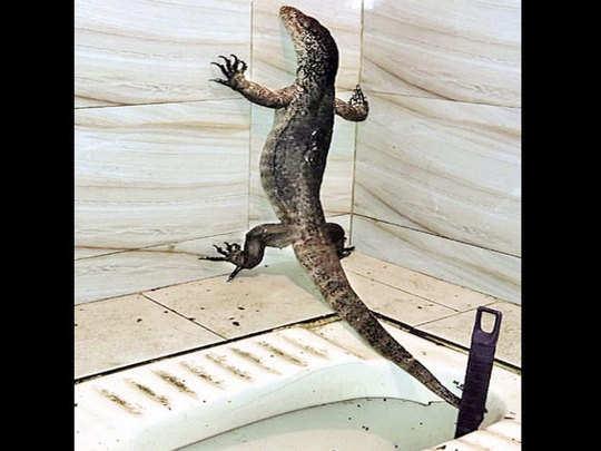 three feet long lizard found in mumbai kandivali toilet who entered due to rain