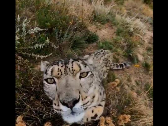 Snow leopard looking at camera. PC: Phillipe Matteini