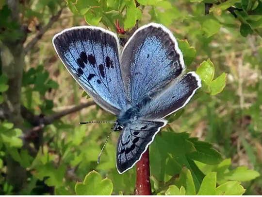 आखिरकार दिखी तितली Large Blue