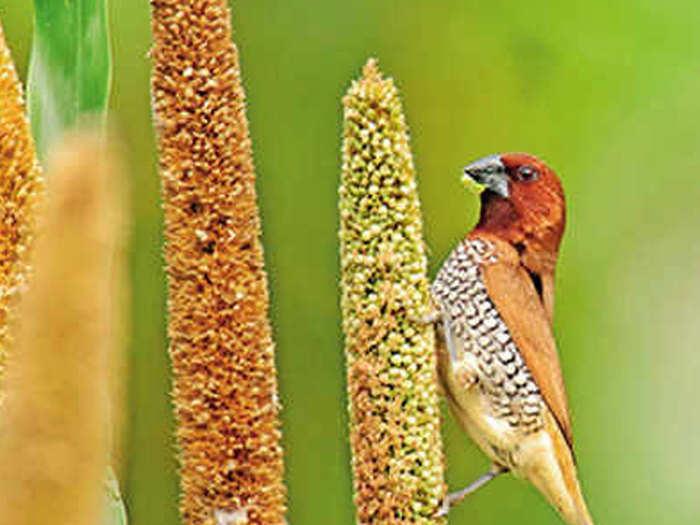 मुरगन के खेत में पक्षी