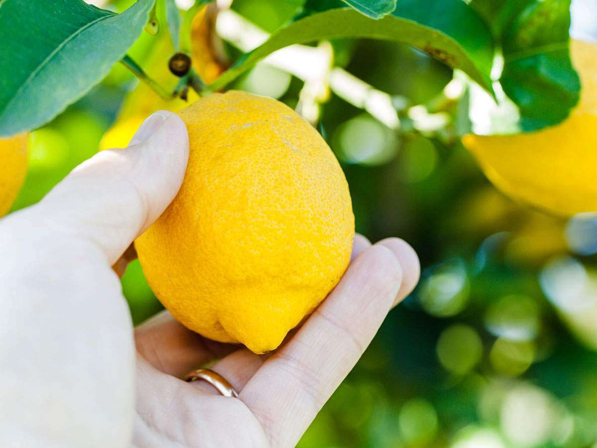 elumichyin nanmaikal: தினமும் 1 எலுமிச்சையாவது ஏன் சாப்பிடணும்?... இந்த  பத்து விஷயம் தான் காரணம்... - 10 important reason why lemons are good for  health? you must know | Samayam Tamil