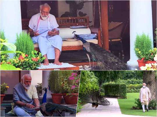 prime minister narendra modi playing with peacocks in residence lawn photos