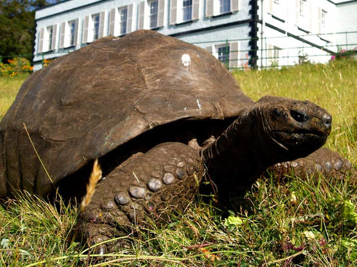 scientists study the oldest living land animal tortoise jonathan in britain island for cure of cancer