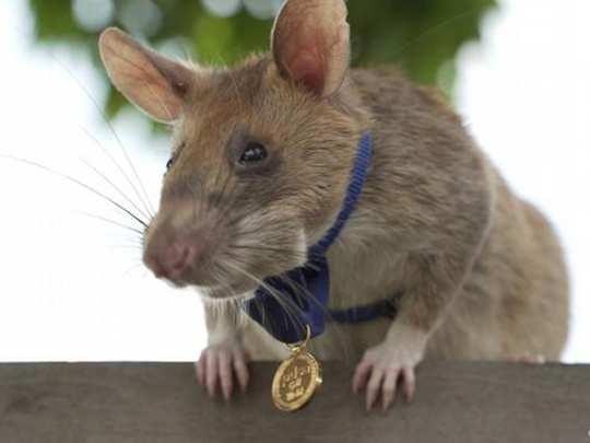 Magawa Rat