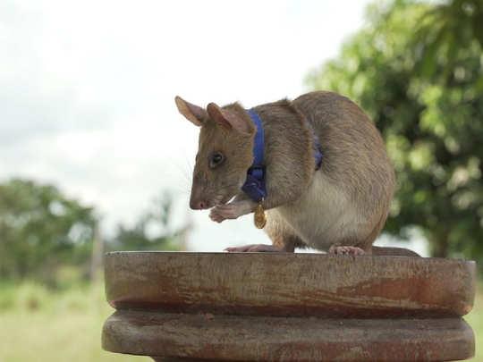 Magawa, the rat
