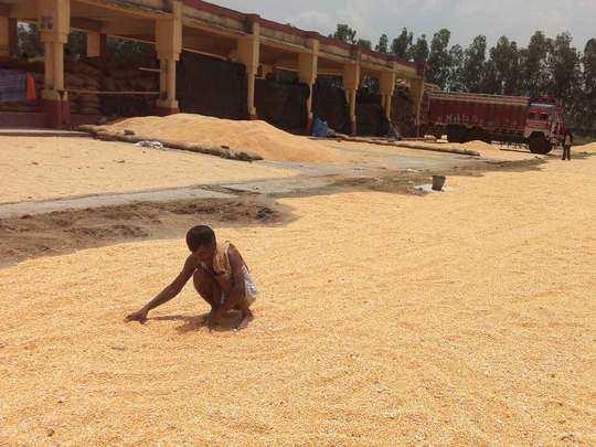 पंजाब और हरियाणा में शुरू हो गई धान की सरकारी खरीद (File Photo)