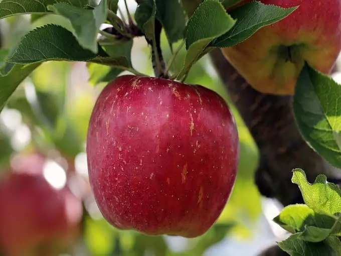-mcintosh-apples