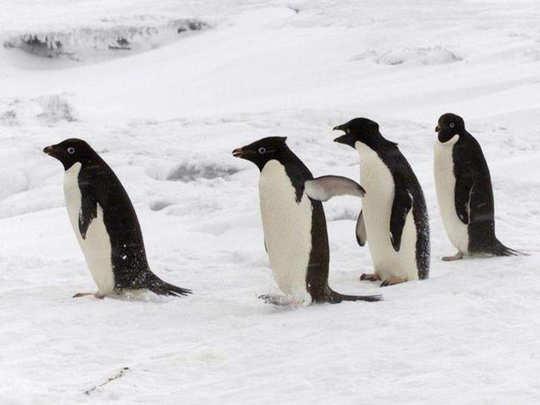 antarctica adelie penguin colony found mummified under ice for centuries