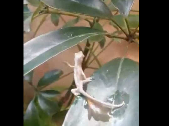 Chameleon giving birth to baby