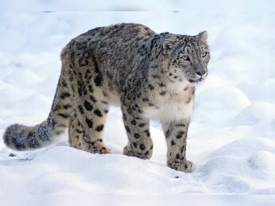 International Snow leopard day 2020 - Pixabay