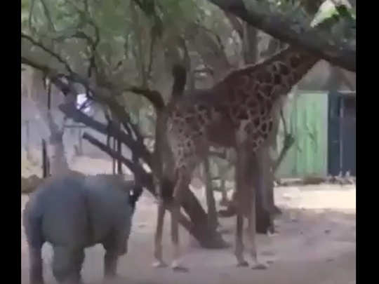 Giraffe kicks rhinoceros in the face