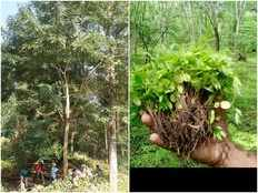 wayanad to control the growth of invasive plant senna