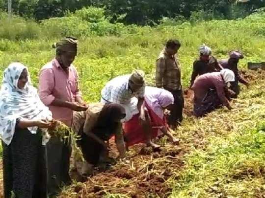 Malappuram Chinese potato Cultivation