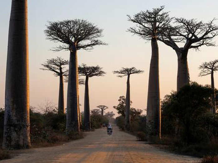 story of baobab of madagascar whose branches resemble roots