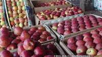 इस साल समय से पहले ही खत्म हो जाएगा कश्मीर का सेब, 60 फीसदी कम हुई फसल की पैदावार