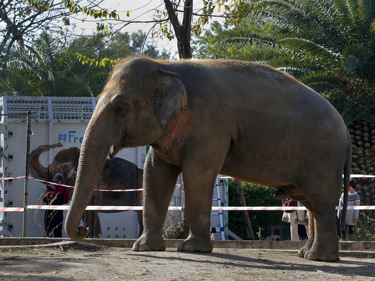 world loneliest elephant kaavan lands in cambodia from pakistan greeted by american singer cher
