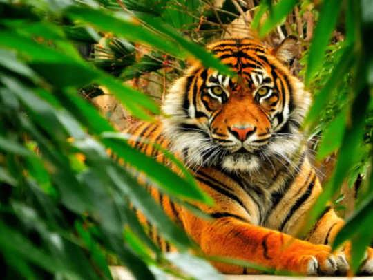 Tiger - TOI