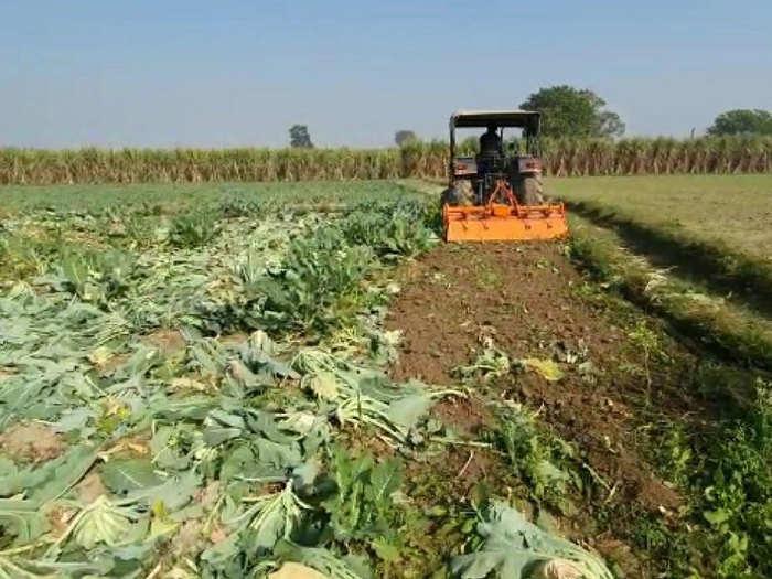 गोभी की फसल नष्ट करते किसान