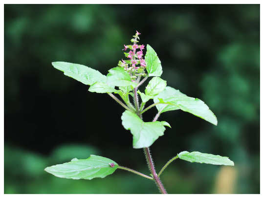 how to take care of tulsi basil plant in winter