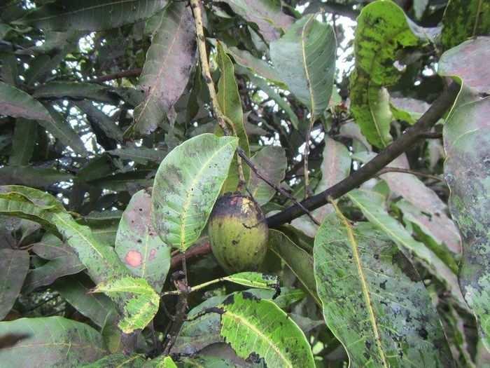 mango farm crop