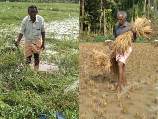 Malappuram Paddy Rain Damage