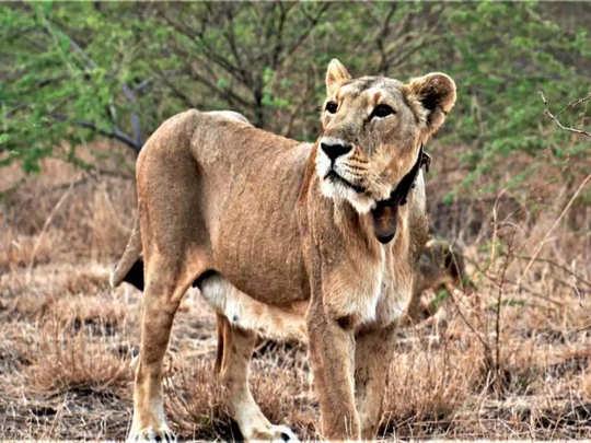 Lioness TOI