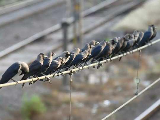 मुंबईत कावळे, कबुतरांच्या मृत्यूत वाढ