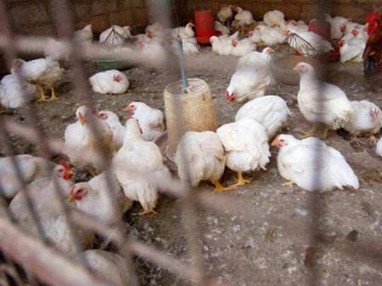 पुणे जिल्ह्यात तेरा कोंबड्यांचा मृत्यू (प्रातिनिधिक फोटो)