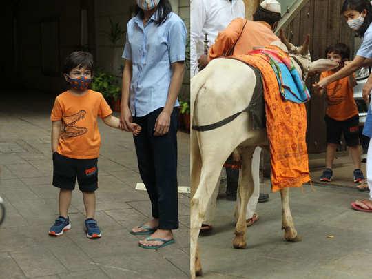 taimur ali khan enjoy father saif ali khan song ole ole and feed cow outside their residence