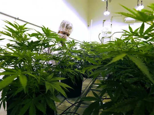 new research claims that cannabis can be used to reduce risk of death due to covid 19