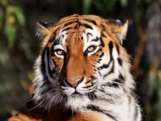 tiger rep