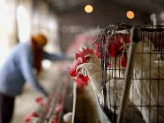 bird flu: rumor is heavy on truth, chicken sales down by 40% in delhi
