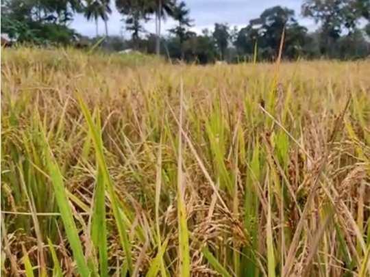 wayanad paddy farm