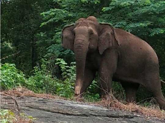 wild elephant attack