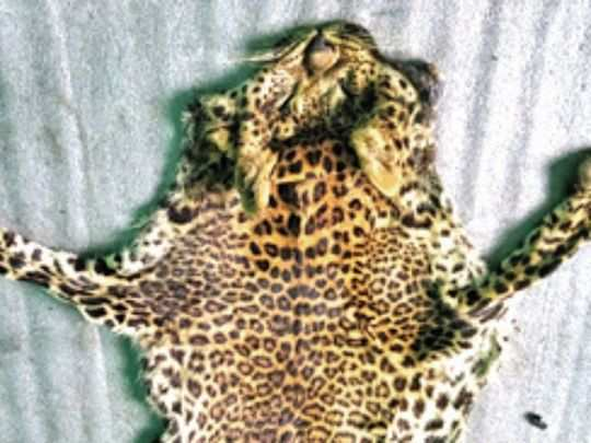 The forest department will probe if the leopard poachers have links with the inter-state gang of illegal wildlife trade