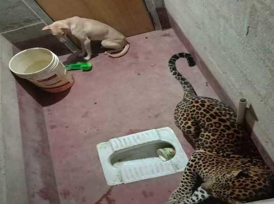 बाथरूम में फंसा डॉग और तेंदुआ