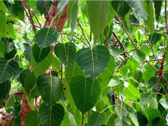 tips related to shani tips for pipal tree pippala tree on saturday