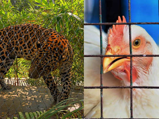 leopard chicken