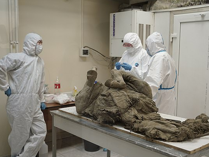 russian scientists are trying to extract prehistoric viruses from woolly mammoth caracasses