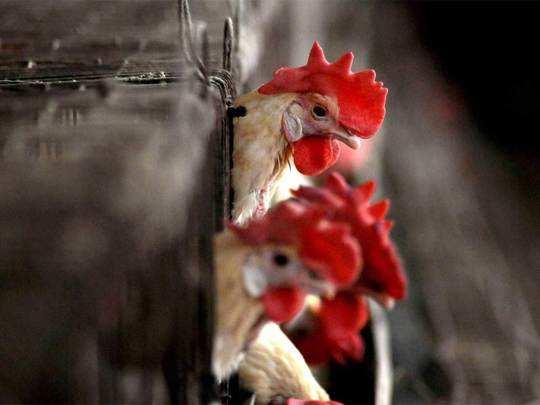 bird-flu1--pti