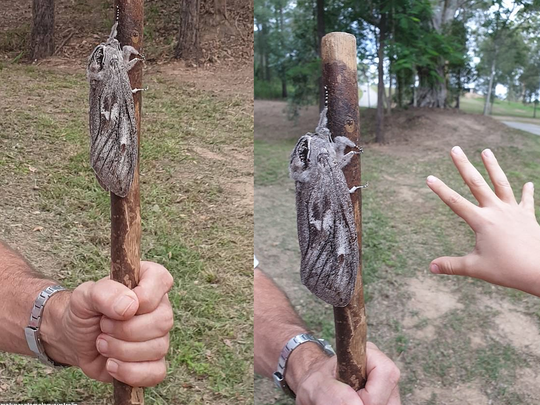 giant wood moth